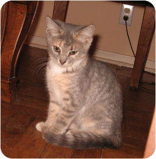 Domestic Shorthair Kitten for adoption in Colmar, Pennsylvania - Angelina
