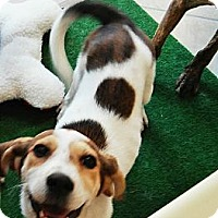 Adopt A Pet :: Alana - Leesburg, VA