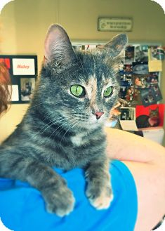 Domestic Shorthair Cat for adoption in Green Bay, Wisconsin - Pixie