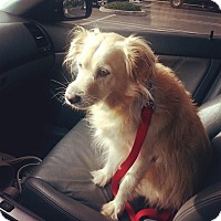 Adopt A Pet :: Ginger- Sweet, loyal and easy! - Bellflower, CA
