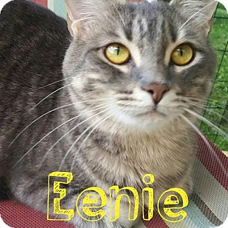Domestic Shorthair Cat for adoption in Grand Blanc, Michigan - Eenie