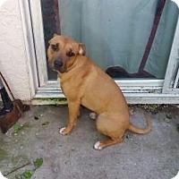 Adopt A Pet :: Chai - Sacramento, CA
