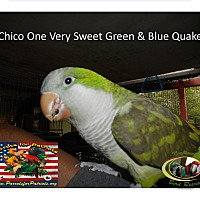Adopt A Pet :: Chico'- Blue/Green Quaker - Vancouver, WA