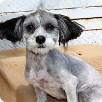 Adopt A Pet :: Becky w/ the Good Hair- 6 lbs - Los Angeles, CA