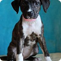 Adopt A Pet :: Amber - Waldorf, MD