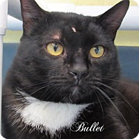 Domestic Shorthair Cat for adoption in Jackson, New Jersey - Bullet