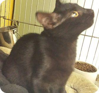 Domestic Shorthair Kitten for adoption in Holden, Missouri - Night Talker