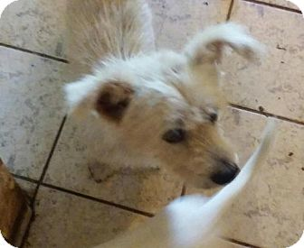 Wheaten Terrier Mix Dog for adoption in Surprise, Arizona - Wheatie