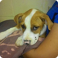 Pit Bull Terrier Mix Dog for adoption in New York, New York - Cody