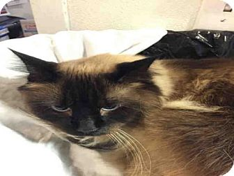 Ragdoll Cat for adoption in Lawrence, Kansas - FIONA