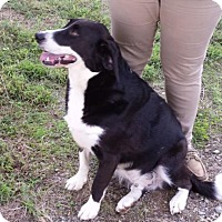 Border Collie Mix Dog for adoption in Roxboro, North Carolina - Oliver