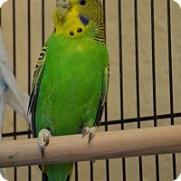 Adopt A Pet :: Jigo - Englewood, FL