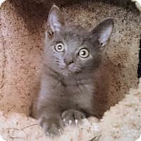 Adopt A Pet :: Bleu - Cherry Hill, NJ