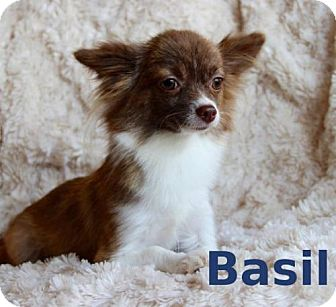 Chihuahua Dog for adoption in Shreveport, Louisiana - Basil