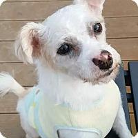 Adopt A Pet :: Chico - Fairfax, VA