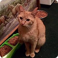 Adopt A Pet :: Spice - Newtown, CT
