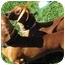 Photo 4 - Dachshund Dog for adoption in Garden Grove, California - Brutus