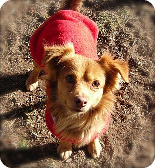 Chihuahua Mix Dog for adoption in El Cajon, California - Murphy
