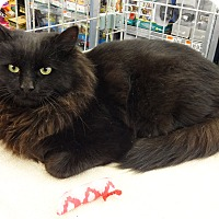Adopt A Pet :: Sylvester - N. Billerica, MA