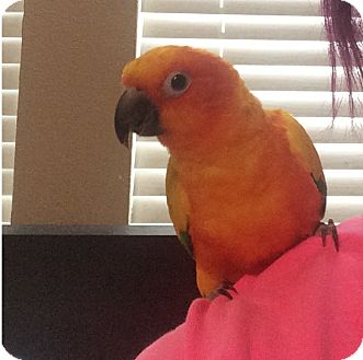 Conure for adoption in Burleson, Texas - Tango