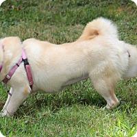Adopt A Pet :: Kishi - Manassas, VA