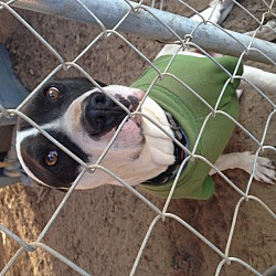 Photo 2 - Pit Bull Terrier/Terrier (Unknown Type, Medium) Mix Dog for adoption in Fowler, California - Cornflake