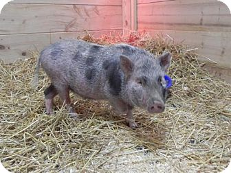Pig (Potbellied) for adoption in Woodstock, Illinois - Pretzel