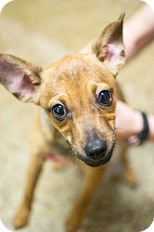 Chihuahua Mix Puppy for adoption in Cranston, Rhode Island - Max