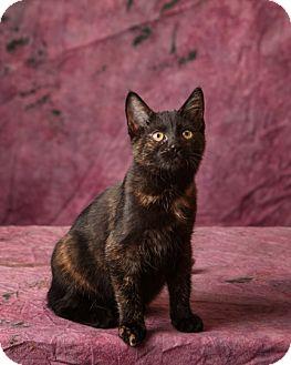 Calico Kitten for adoption in Harrisonburg, Virginia - Addy
