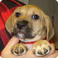 Adopt A Pet :: CHEERIO - Dallas, TX