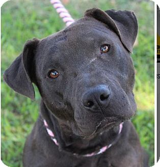 American Pit Bull Terrier Mix Dog for adoption in Red Bluff, California - JADE-low fees/spayed
