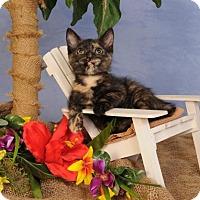 Domestic Shorthair Kitten for adoption in mishawaka, Indiana - Hershey