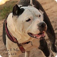 American Bulldog Dog for adoption in Freeport, Florida - Muscles