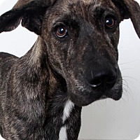 Great Dane Mix Puppy for adoption in Edina, Minnesota - Striker D161592: PENDING ADOPTION