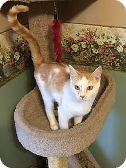 Domestic Shorthair Kitten for adoption in Warrenton, Missouri - Nemo