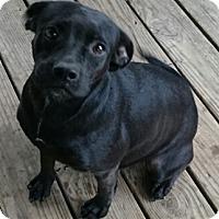 Adopt A Pet :: SHAKIRA - Bronx, NY
