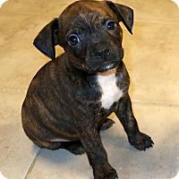 Adopt A Pet :: Zeppo - Rockingham, NH