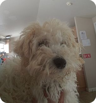 Poodle (Miniature) Dog for adoption in Lemoore, California - Chanel