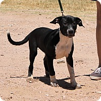 Labrador Retriever Mix Dog for adoption in Marble Falls, Texas - Susie