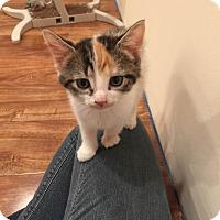 Adopt A Pet :: calico kitten - Edinburg, PA