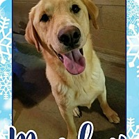 Labrador Retriever/Golden Retriever Mix Dog for adoption in Edwards AFB, California - Marley