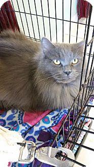 Domestic Shorthair Cat for adoption in Chippewa Falls, Wisconsin - Biggs