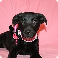 Adopt A Pet :: Diamond - Albany, NY