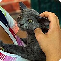 Adopt A Pet :: Shelby - Brooklyn, NY