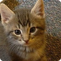 Adopt A Pet :: Bottle Fed Girl Babies - Richfield, OH