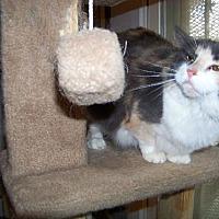 Calico Cat for adoption in Glendale, Arizona - Amanda