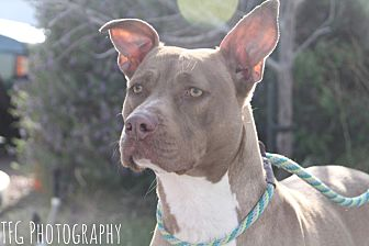Pit Bull Terrier Mix Dog for adoption in Las Vegas, Nevada - Star