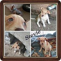 Adopt A Pet :: Stevie meet me 9/11 - Manchester, CT