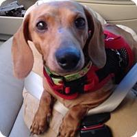 Adopt A Pet :: Joey - Humble, TX