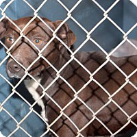 Adopt A Pet :: Nikko - Oxford, NC